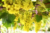Hanging Green Grape at Farm — Stock Photo
