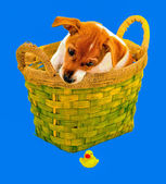 Puppy in a basket and a fallen toy — Stock Photo