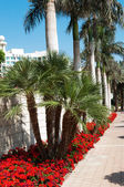 Palm trees and red geraniums — Stock Photo