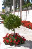 Street parking and red geraniums — Stock Photo