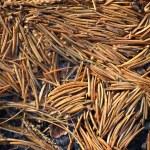 Pine tree needles — Stock Photo #58582153