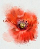 Red watercolor poppy — Stock Photo