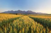Summer wheat field in Slovakia — Stock Photo