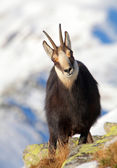 Chamois - rupicapra, Tatras — Stock Photo