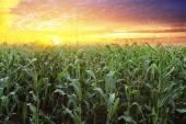 Corn field at sunset — Foto Stock