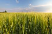 Wheat field - barley — Stock Photo