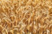 Wheat, detail — Stock Photo