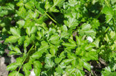 Growing of green leaves of parsley in the garden — Stock Photo