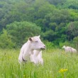 A portrait of white goat in the meadow — Stock Photo #62309631