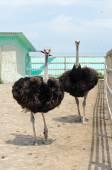 Big domestic ostrich — Stock Photo