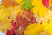 Javorové listy na dřevěné pozadí — Stock fotografie