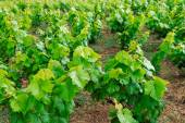 The vineyard in Corfu — Stock Photo