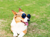 Dog wearing sunglasses — Stock Photo