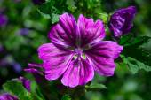 Violet blooming mallow — Stock Photo