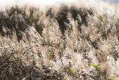 Reed in backlight — Stock Photo