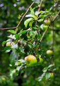 Ripe green apples with drops after rain — Stock Photo