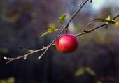 Ripe red apple on the tree — Stock Photo