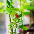 Cultivation of red chili pepper on a windowsill — Stock Photo #62194255