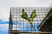 Two big green parrots (Alexandrine parakeet) — Stock Photo