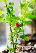 Cultivation of red chili pepper on a windowsill — Stock Photo