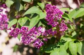 Branch of blooming lilac — Stock Photo