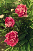 Three dark pink peonies in the garden, vintage toning — Stock Photo