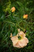 One yellow tea rose, two buds with drops on its petals and dead — Foto de Stock