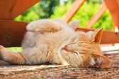 Sleeping red cat — Stock Photo