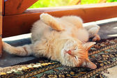 Lazy red cat in summer — Stock Photo