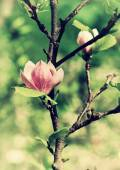 Abloom flower of magnolia — Stock Photo