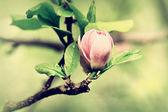 A burgeon of magnolia in springtime — Stock Photo