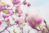 Abloom flower of magnolia tree in spring — Stock Photo