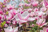 Blooming garden of magnolia trees — Stock Photo