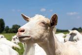 козы — Стоковое фото