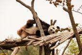 Panda — Stockfoto