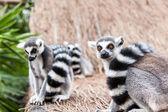 Lemure dalla coda ad anelli — Foto Stock
