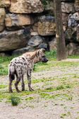 鬣狗 — 图库照片