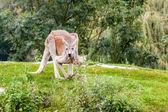 Kangaroe — Foto Stock