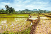 Footpath in the rice fields — Stock Photo