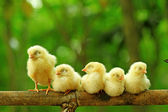 Five chicks are perching on bamboo stem — Stockfoto