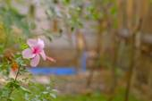 Indonesian pink hibiscus, with blur background — Stock Photo