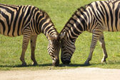 Deux zèbres — Photo