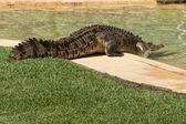 Large Crocodile. — Stock Photo