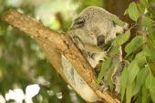 Koala by itself eating. — Foto Stock