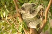 Koala by itself eating. — Стоковое фото