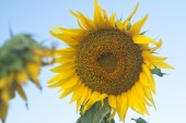 Sunflowers in a field in the afternoon. — Stock Photo