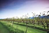 Lavender farm and vineyard in Kooroomba — Стоковое фото