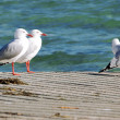 Group of seagulls on the boat ramp — Stock Photo #75315727