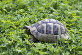 Brown turtle creeps on green grass sunny summer afternoon. — Stock Photo