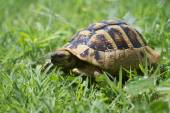 Brown turtle creeps on green grass summer afternoon. — Stock Photo